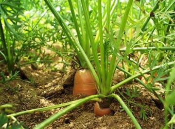 Выращивание моркови (повторенье - мать ученья)