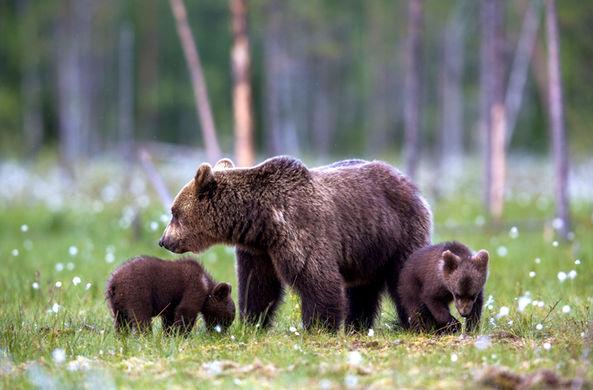 Шведские медведицы перехитрили охотников