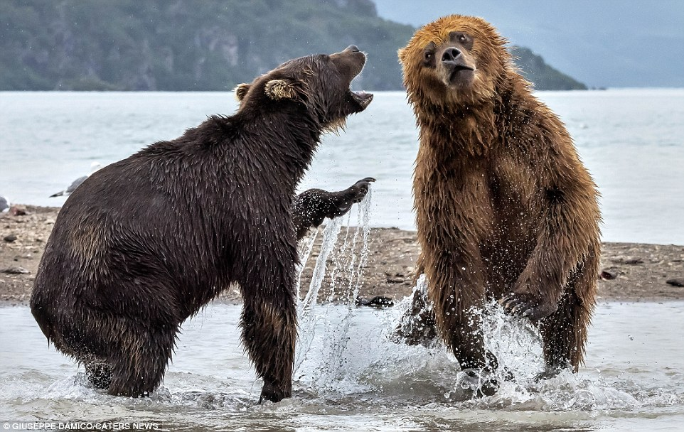 This incredible clash of the titans in Kurile Lake Park, Kamchatka, was watched by 57-year-old Giuseppe D'Amico - whose box office seats were worth travelling for
