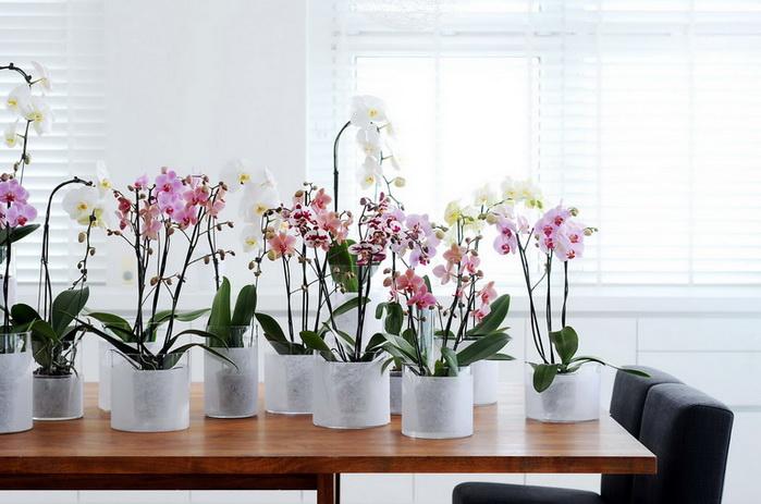 Амадей - Орхидеи к выпускному. Спеццена от 270руб!