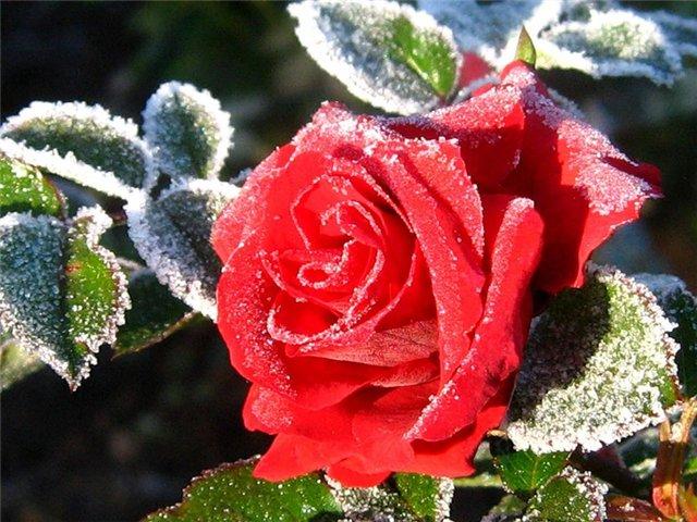 Грамотная подготовка роз к зиме