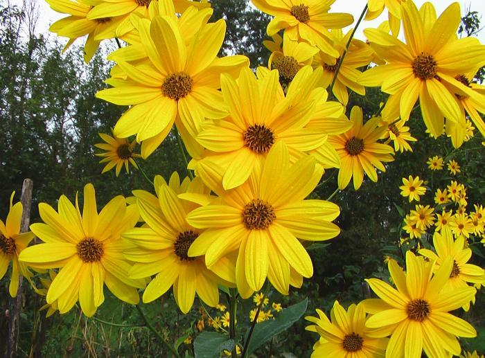 Батат и топинамбур – красивоцветущие универсалы