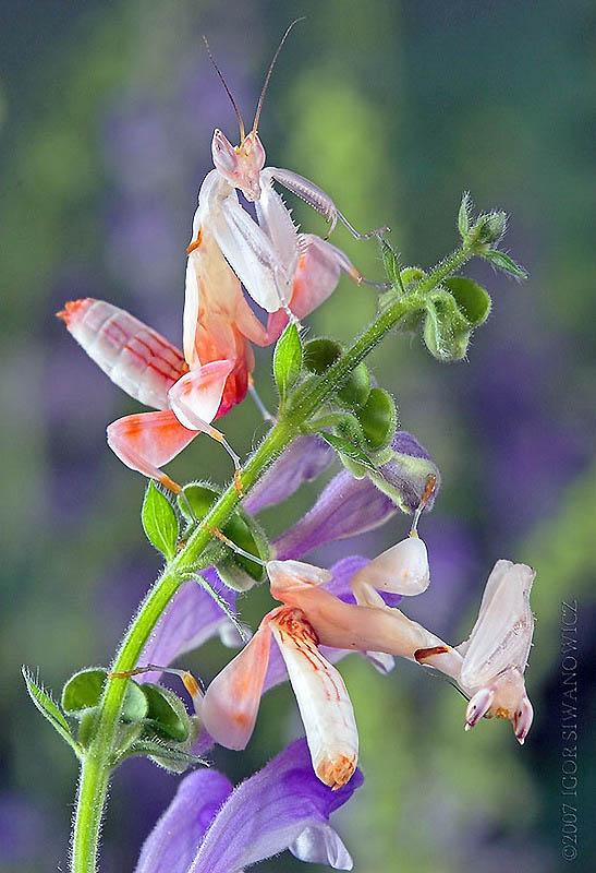 3148 Орхидейные богомолы