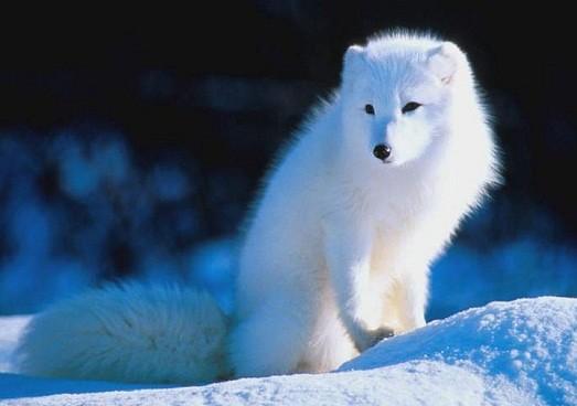 1. Песец или полярная лиса. 10 наиболее красивых животных в мире, животные, самые красивые животные мира, топ-10