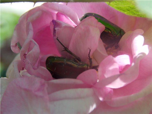 Как бороться с бронзовкой на розах?