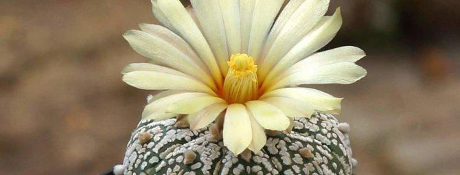 Астрофитум: виды кактусов и уход в домашних условиях