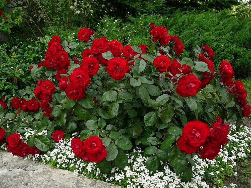 Чем обработать розы осенью, чтобы не болели