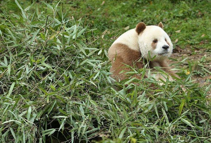 Единственная в мире коричнево-белая панда