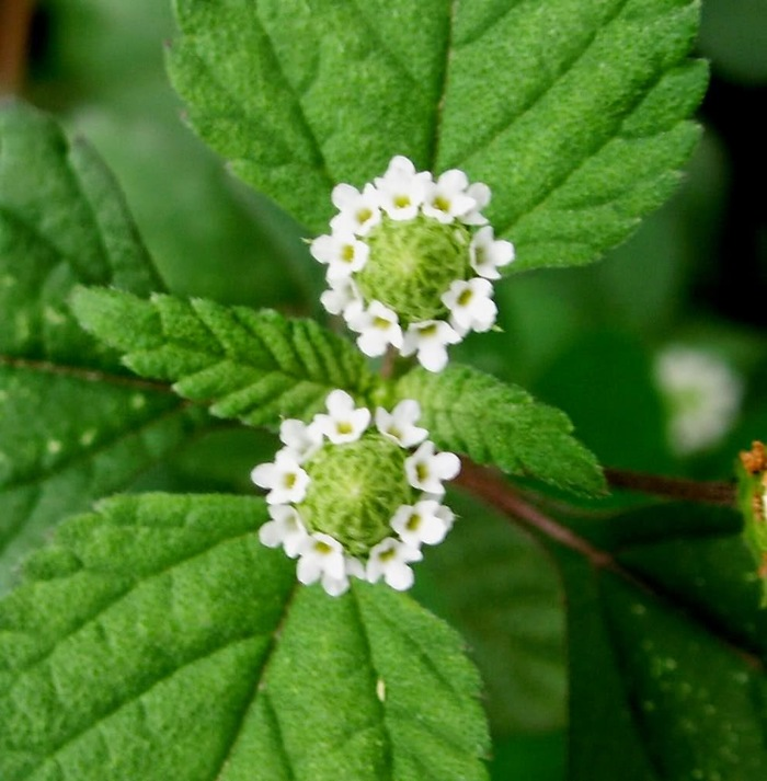 Цветок диабетика