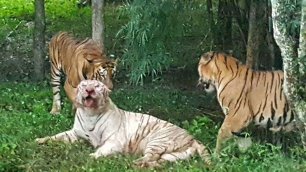 Скриншот видео Rare White Tiger savagely killed by Pack of Bengal Cats