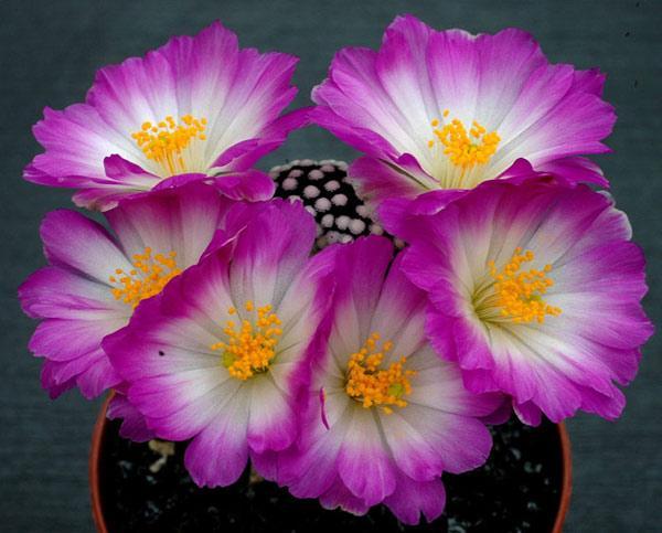 Мифы, погубившие не одну сотню колючих растений
