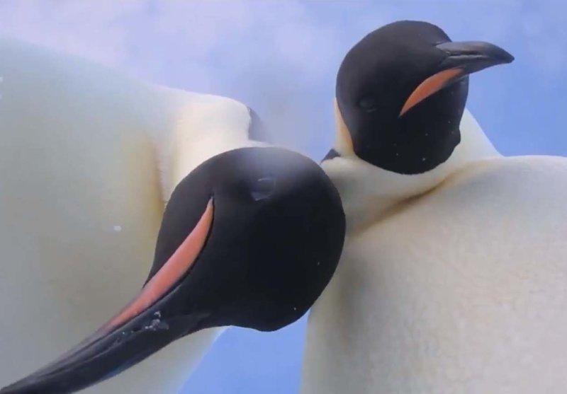 Увлеченная позированием пара пингвинов попала на видео