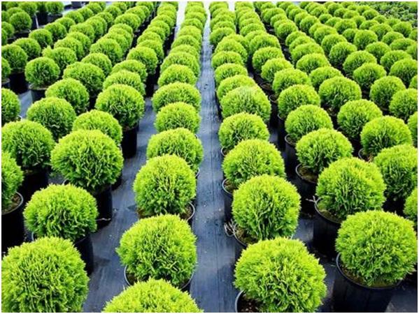 Черенкование хвойных растений