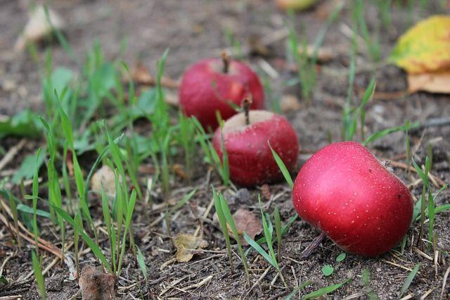 «Опасные яблоки». Нужно ли убирать падалицу с участка?