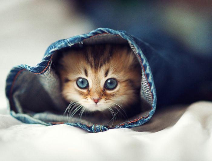 NewPix.ru - Маленькое голубое чудо - самый милый котенок в мире
