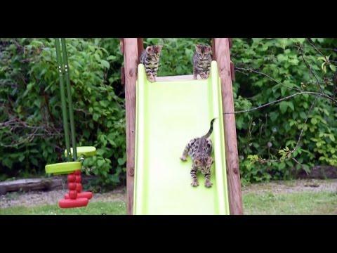 Новая игрушка для бенгальских котят. Полностью одобрено!