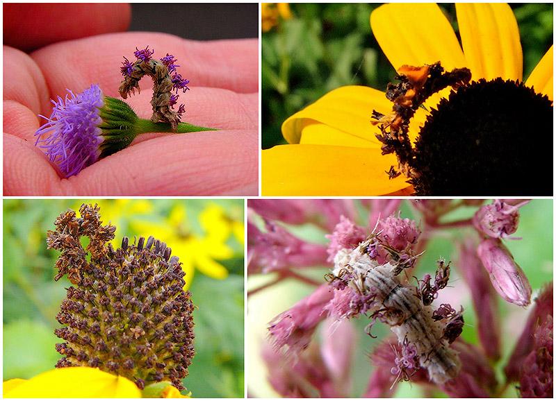 BIGPIC10 Чудеса мимикрии: Гусеница цветок