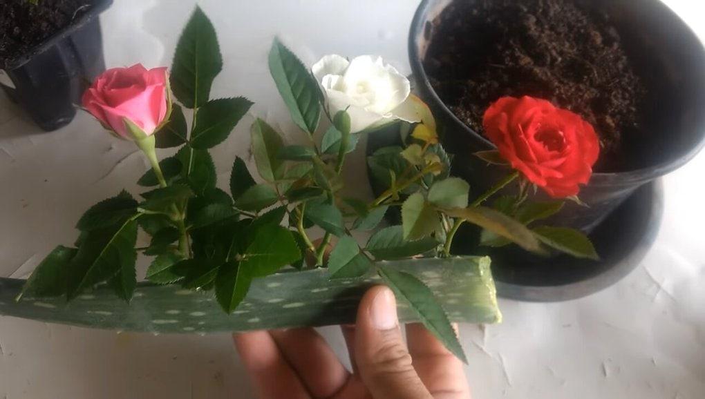 Действенный способ укоренить розу: алоэ вера вам в помощь