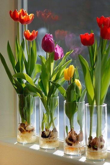 Выгонка луковиц тюльпанов в …