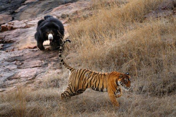 Схватка медведицы с тигром