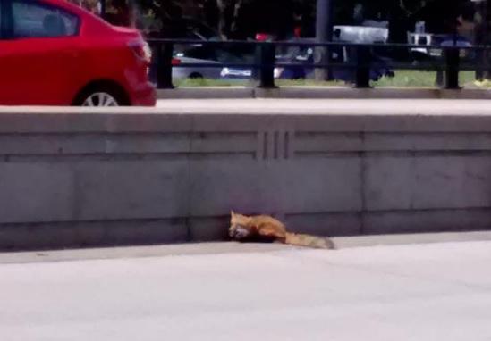 Сбитый на шоссе лис дождался помощи и скоро вернется в природу