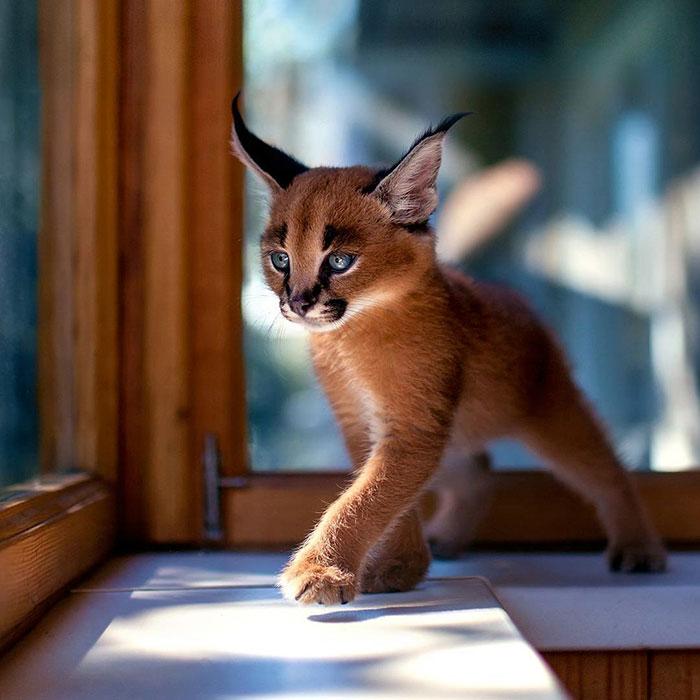 Не то кот, не то рысь. Каракал — самая красивая порода кошек в мире!
