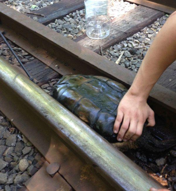 Фотоотчет о спасении черепахи