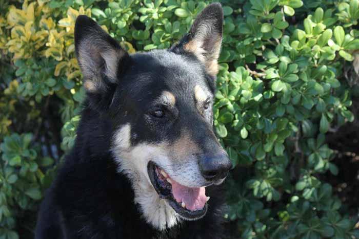 Капитан - верный пес, который приходит на могилу своего хозяина вот уже 11 лет