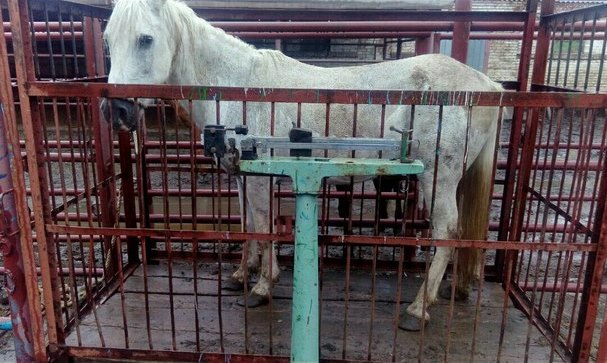 Девушка спасает от смерти лошадей, отправленных на убой.