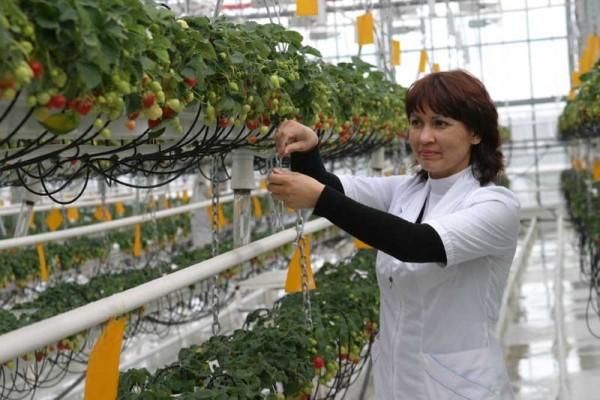 Выращиваем клубнику в теплице круглый год