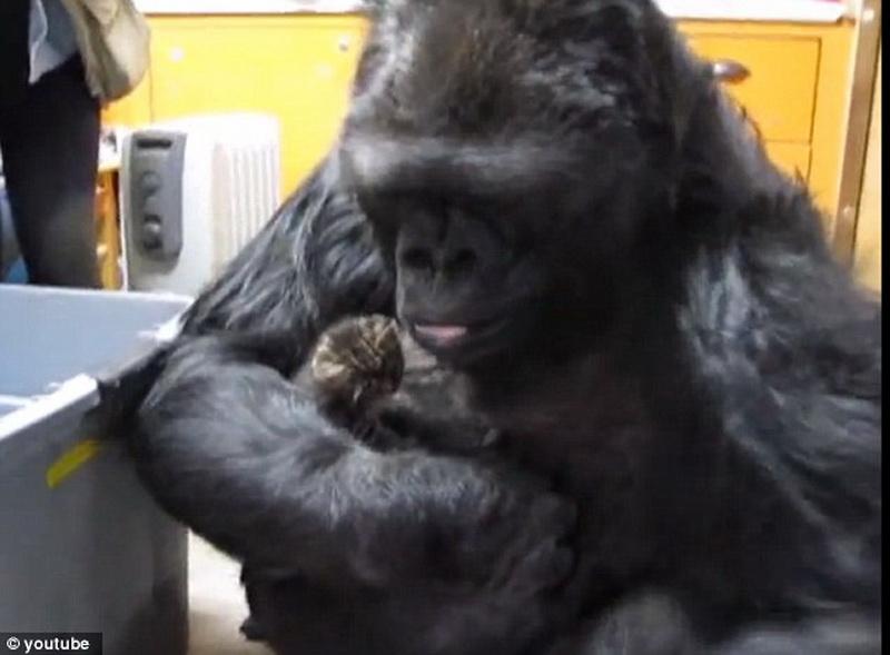 Добрая горилла
