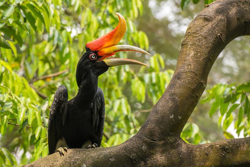 Малайский калао: зачем тропическим птицам такой необычный клюв