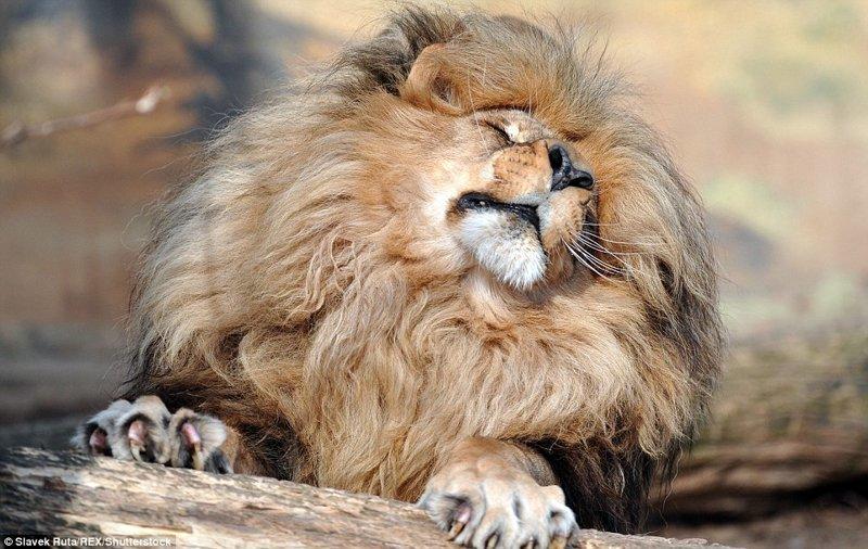 Лев Леон с шикарной гривой - главная звезда чешского зоопарка
