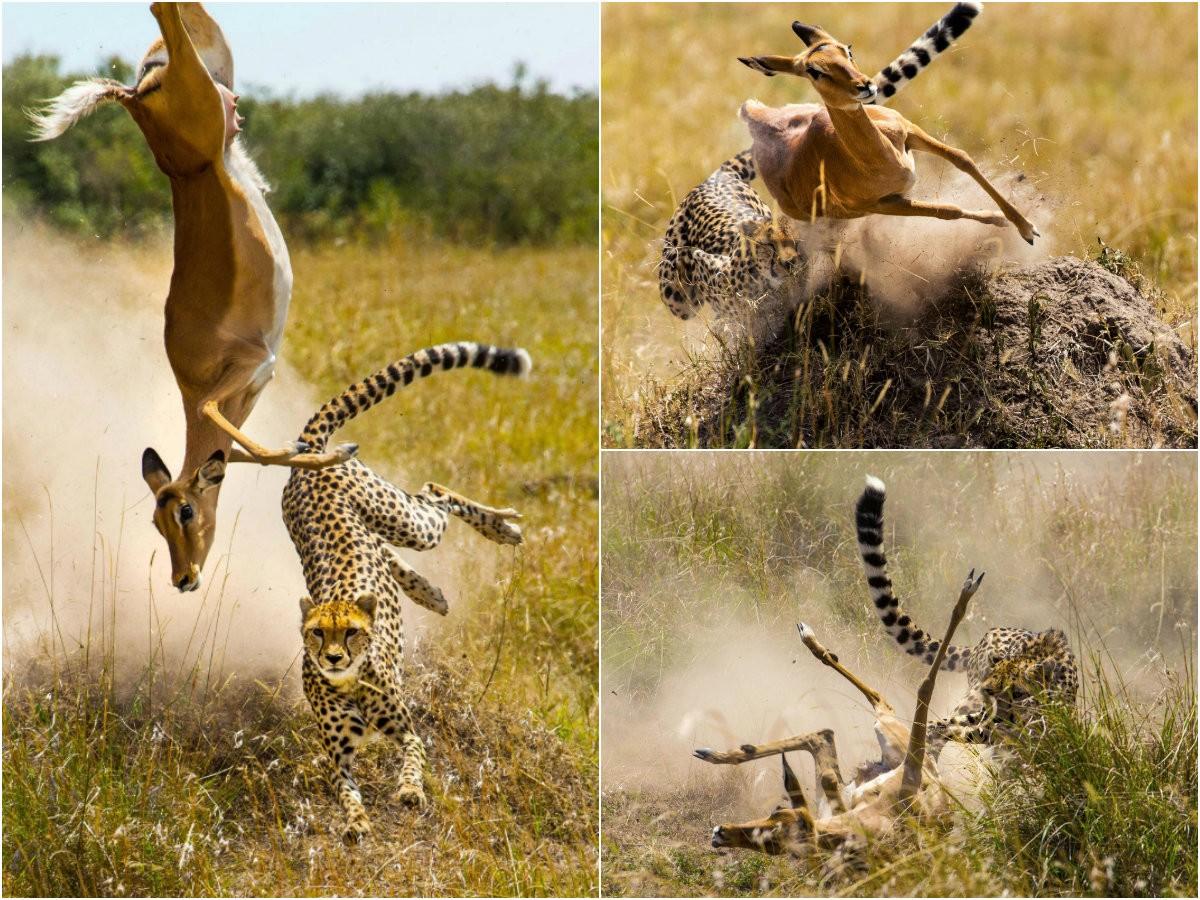 Невероятные пируэты антилопы, убегающей от гепарда
