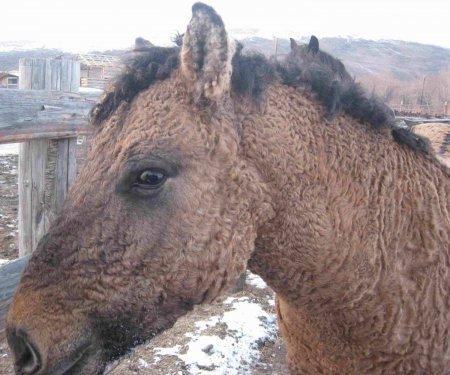Кучерявая Забайкальская порода лошадей
