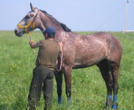 Фото лошади красно-серой масти орловской рысистой породы