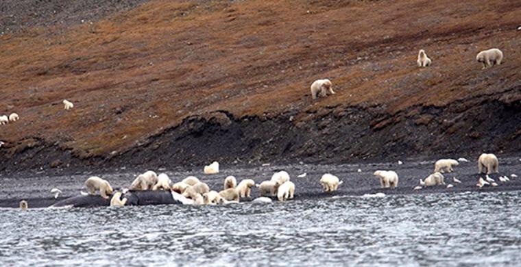 Больше 200 белых медведей сфотографировали в одном месте