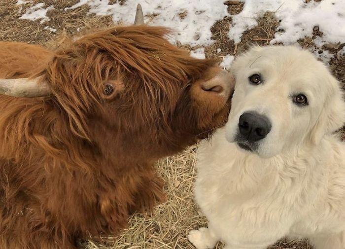А вы знали, что в мире ежедневно выбирается «Корова дня», как самая обаятельная буренка на планете?