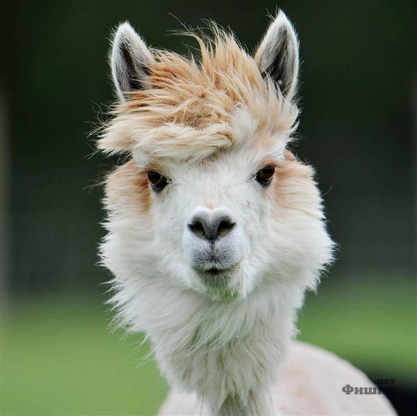 Милые и дерзкие причёски альпак