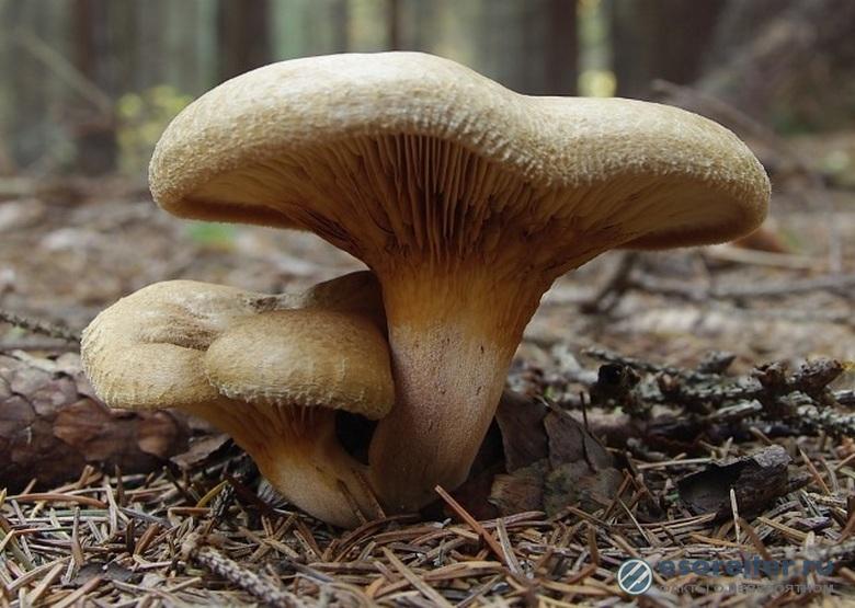 Коварный «съедобный» гриб свинушка