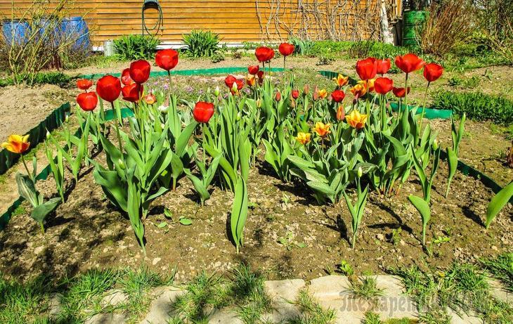 13 самых частых вопросов о тюльпанах – все, что вы хотели узнать