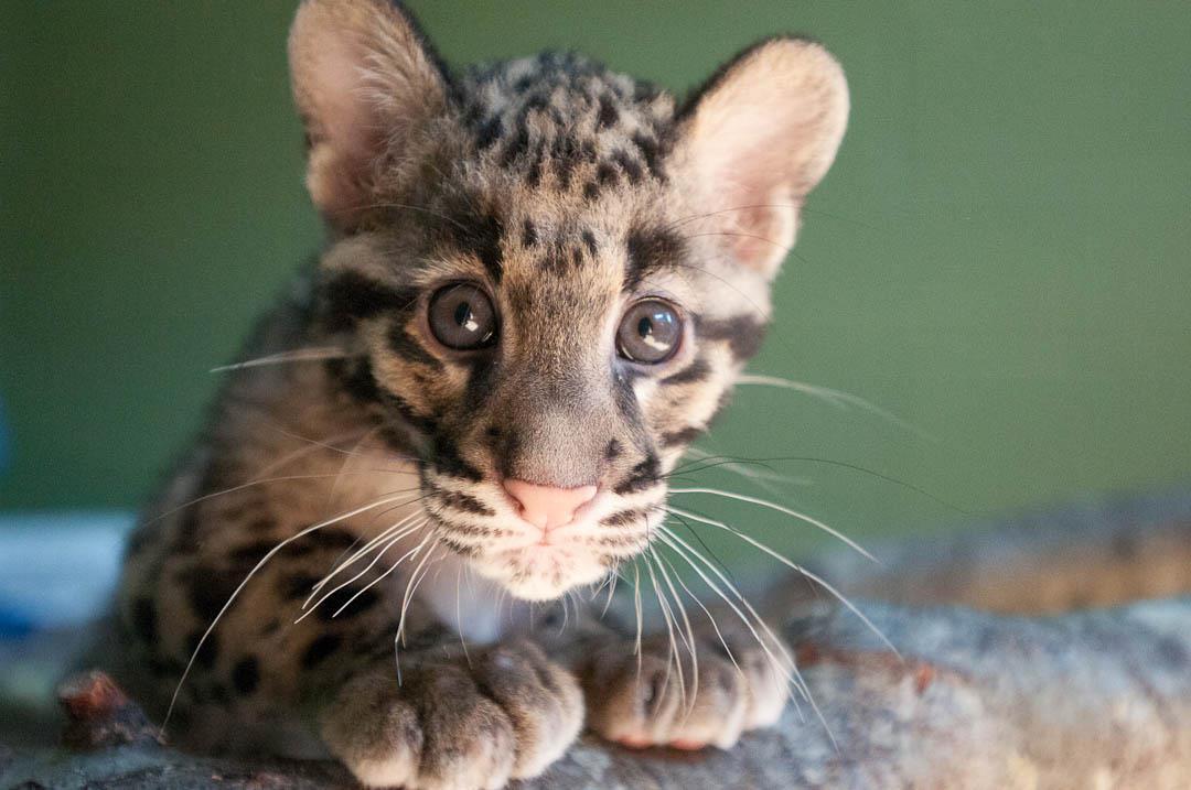 Меленькие дымчатые леопарды …