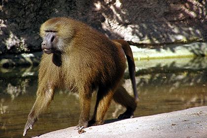 Названы сроки появления языка у обезьян