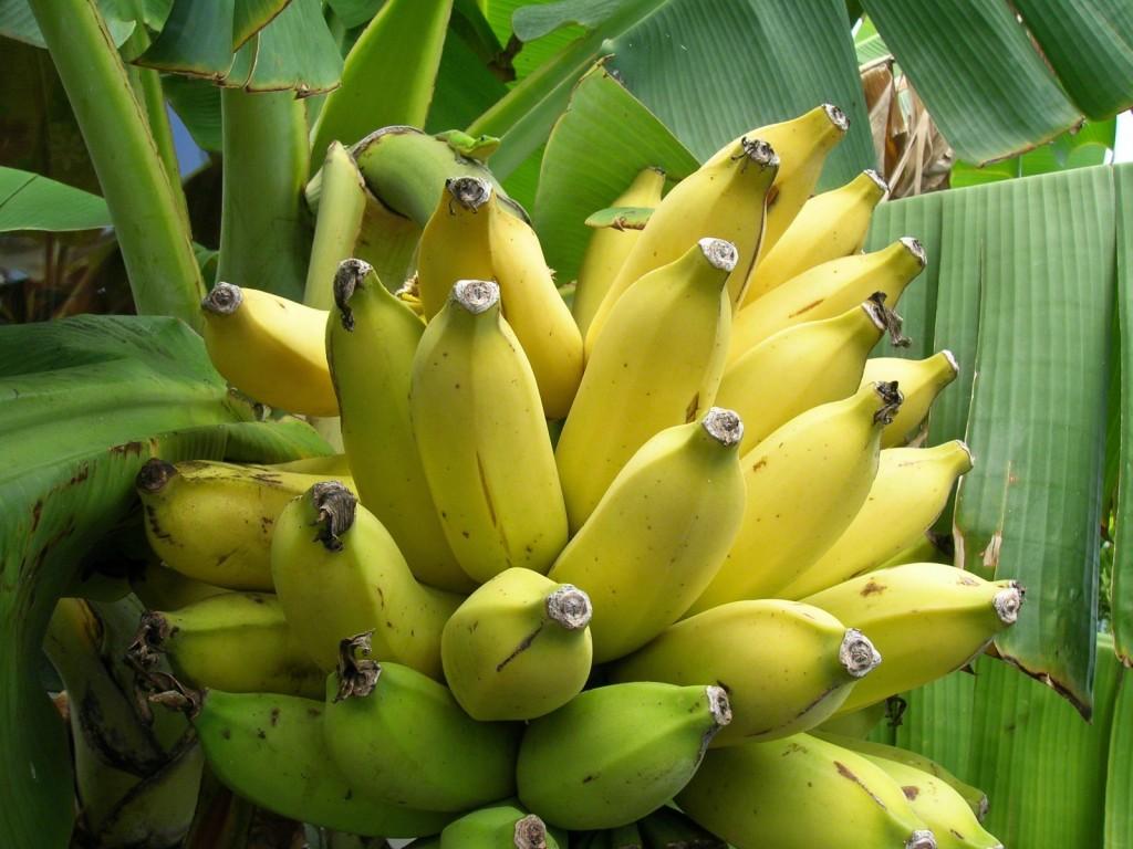 Мульча из бананов и бананы против тли
