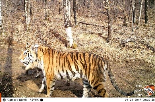 """У тигров, которых президент Путин выпустил в заказнике """"Журавлиный"""", родились тигрята"""
