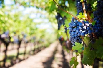 Крыму выделят 200 млн руб. на развитие виноградников и молочного скотоводства