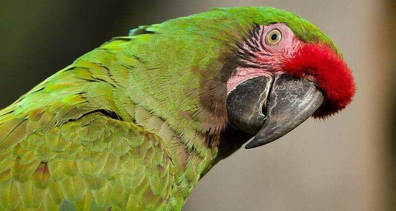 Мозг попугаев оказался похож на обезьяний исследование, мозг, попугаи, ученые