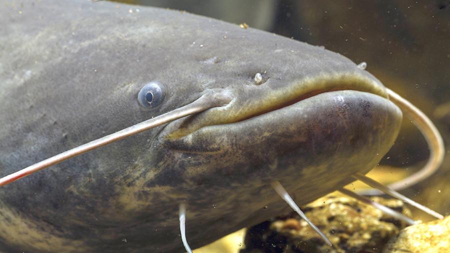 Кировский рыбак поймал сома размером со взрослого мужчину
