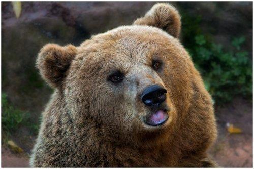В Чернобыль вернулись бурые медведи и другая живность