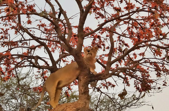 Индийскую львицу засняли в необычном окружении